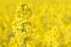 Close view of colza in bloom royalty free stock photography