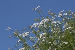Coriander (Coriandrum sativum). Close view of coriander (Coriandrum sativum) farming stock images