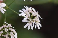 Coriander (Coriandrum sativum). Close view of coriander (Coriandrum sativum) farming royalty free stock photos