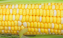 Close View of Corn Cob Kernels Stock Photo