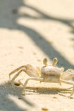 Close view of crab on sandy beach in maldives Royalty Free Stock Images