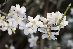 Almond tree blossoms. Close view detail of almond tree blossoms in the nature Royalty Free Stock Photos
