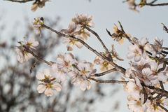 Almond tree blossoms. Close view detail of almond tree blossoms in the nature Stock Image