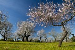 Almond tree blossoms. Close view detail of almond tree blossoms in the nature Stock Images