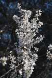 Almond tree blossoms. Close view detail of almond tree blossoms in the nature Stock Photos
