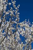 Almond tree blossoms. Close view detail of almond tree blossoms in the nature Royalty Free Stock Images