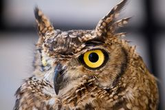 Spotted Eagle-owl (Bubo africanus) Stock Images