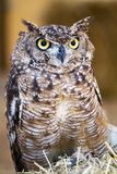 Spotted Eagle-owl (Bubo africanus) Stock Photography
