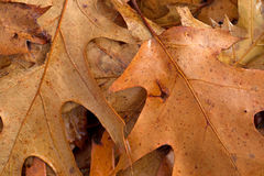 Close view of dried fall red oak leaves Royalty Free Stock Image