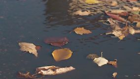 Dry fallen leaves lie on rippling water and light wind blows. Close view dry yellow and orange fallen leaves float on rippling water and light autumn wind blows stock footage