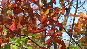 Close view of drying fall leaves blowing in the wind. A close view of colorful fall leaves still attached to the tree blowing in the wind with blue sky in the stock video