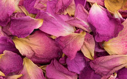 Close view of dying rose petals Stock Photography