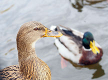 Close view of female grey duck Royalty Free Stock Image