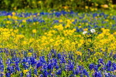 Close View of a Field Blanketed with the Famous Texas Bluebonnet and Other Assorted Wildflowers Royalty Free Stock Photography