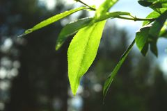 Close view of a Fresh green leaf on summer royalty free stock image