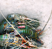 Close view of  fresh lobsters in a box Stock Photos