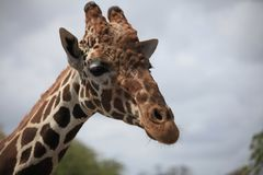 Close view of a giraffe royalty free stock photography