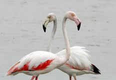 Close view of Greater Flamongos Stock Photography