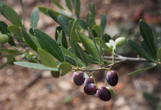 Close view of green and black olives on an olive tree Stock Photography
