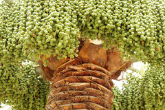 Close view of green dates in a date palm tree Royalty Free Stock Photo