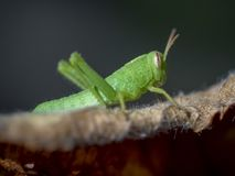 Green grasshopper macro royalty free stock photos