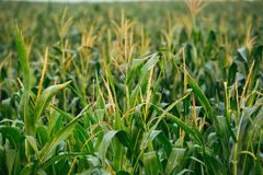 Close View Of Growing Up Young Stalk's Tops Of Corn Maize Plant. On The Agricultural Field In Spring Summer Stock Images