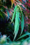 Hemp leaves of a big plant stock photo