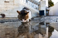 Homeless cat drinks water from a puddle after the rain. royalty free stock image