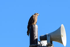 Close view of Japanese Black Kite Bird Stock Photo