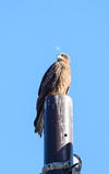 Close view of Japanese Black Kite Bird Royalty Free Stock Images