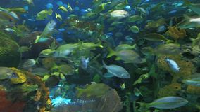A close view of large schools of fish swimming in a coral reef. A close view of large schools of fish swimming by a coral reef stock footage