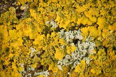 Close view of lichens Royalty Free Stock Images