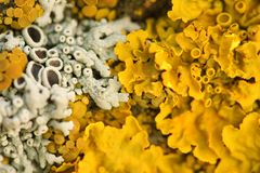 Close view of lichens Stock Images
