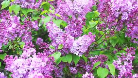 Close view of Lilac trees in colorful bloom stock video