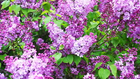 Close view of Lilac trees in colorful bloom. A Close view of Lilac trees in colorful bloom stock video
