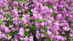 Close view of Lilac trees in colorful bloom in spring. A Close view of Lilac trees in colorful bloom in spring stock video footage