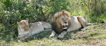 Close view of a lion and lioness resting near bush of masai Mara Stock Photo