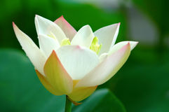 Close view of lotus flower Royalty Free Stock Images