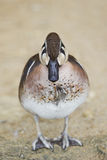 Close view of a male Baikal Teal, Anas formosa Royalty Free Stock Photography