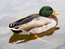 Close view of male duck in the water Stock Image
