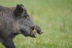 Close-up view of male boar. A close view of a male wild boar and his impressive tusks, an recently fallen apple still in his mouth Stock Images