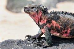 Close view of marine iguana on Espanola Island, Galapagos National park, Ecuador royalty free stock photography