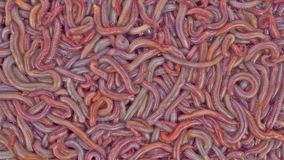 Close view of moving bloodworms Royalty Free Stock Photo