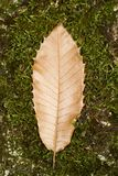 One autumn leaf fallen in the forest ground. Close view of one autumn tree leaf fallen in the forest ground Royalty Free Stock Photo