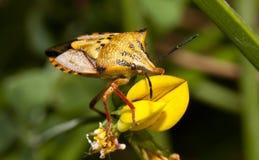 Carpocoris mediterraneus. Close view of a orange common shield bug crawling up a flower stock image