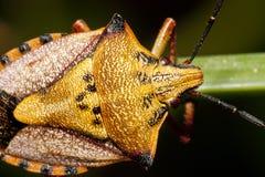 Carpocoris mediterraneus. Close view of a orange common shield bug crawling up a grass leaf royalty free stock images