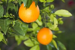 Orange fruit. Close view of the orange fruit hanging from the tree Stock Photos