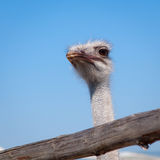 Close view of ostrich head Royalty Free Stock Photo