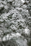 Close view on the pine tree branch covered with snow stock photography