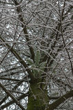 Close view on the pine tree branch covered with snow royalty free stock photography